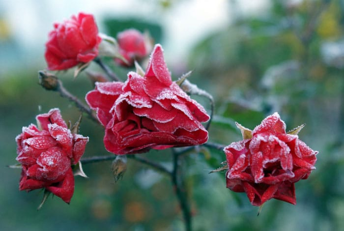 How to protect your roses in the winter
